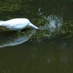 2012-05-07 13.18.36 Egret fishing