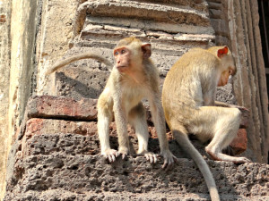 Monkey Tails at Lopburi