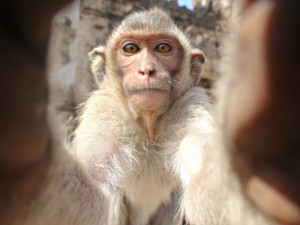 Monkey looks into the Camera