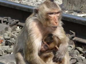 Mom and Baby Monkey at Lopburi